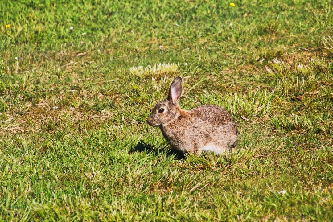 Brush Rabbit at Mount Taranaki in New Plymouth, New Zealand