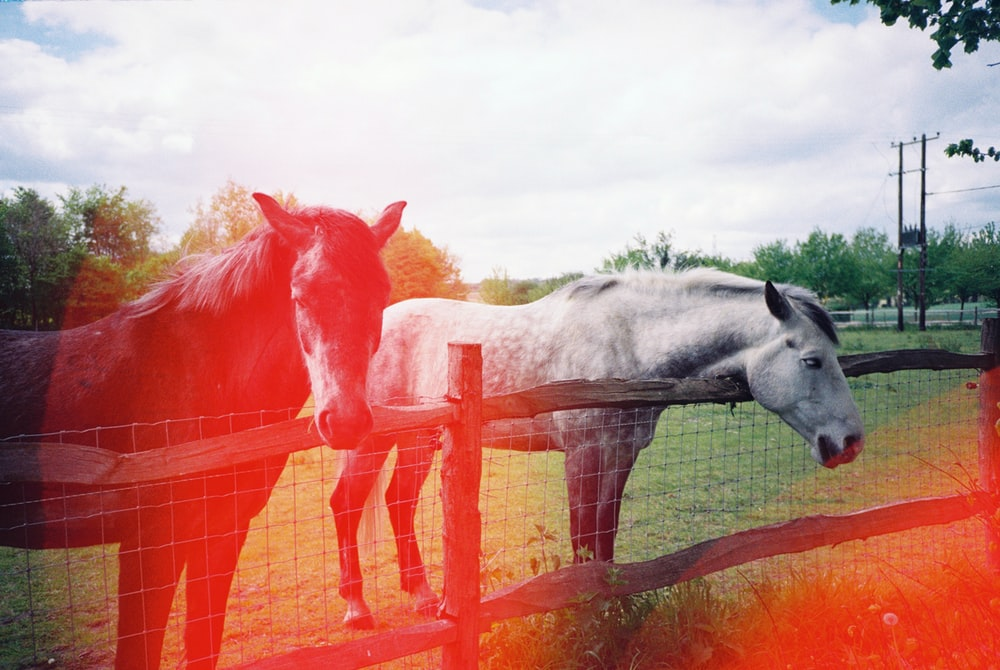 two black and white horses at the farm