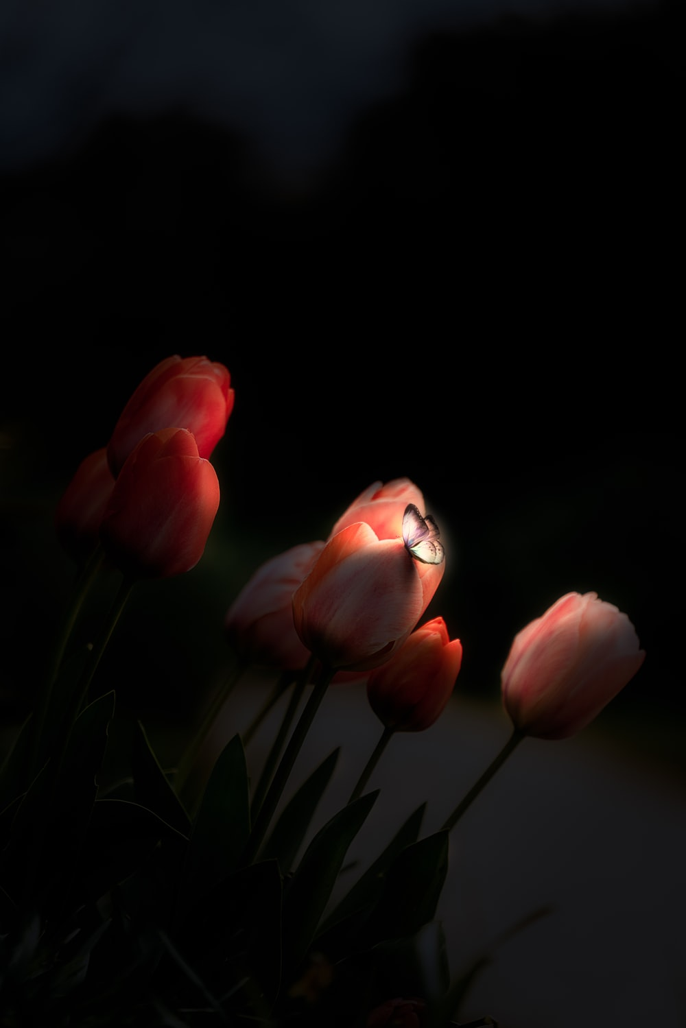 pink tulips with butterfly