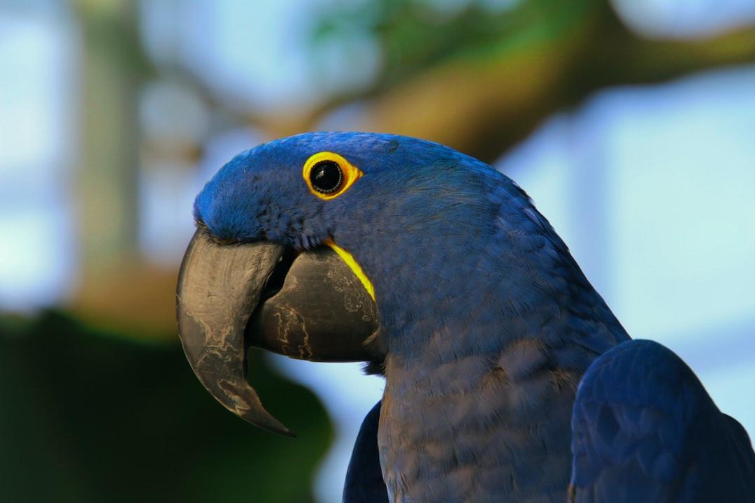 Hyacinthine Macaw at Green Planet Dubai, United Emirates