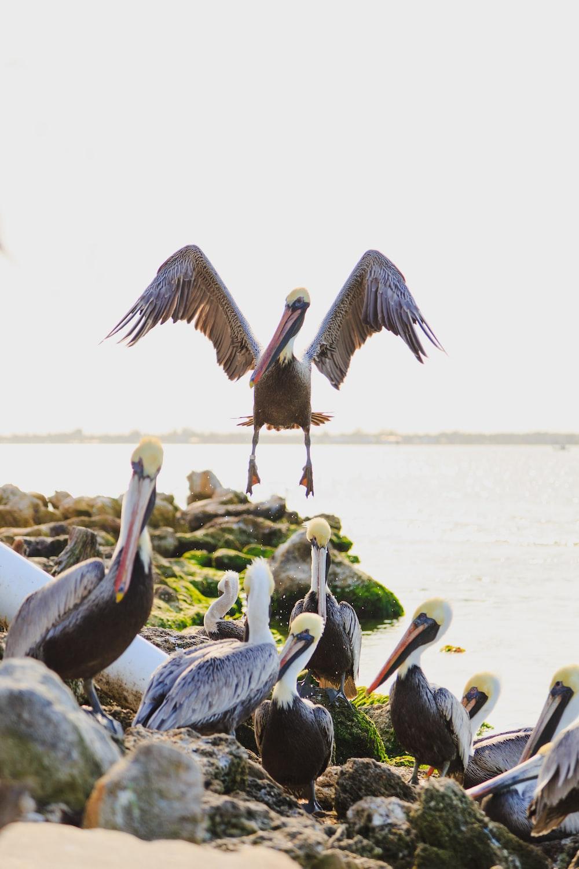 flock of pelican bird