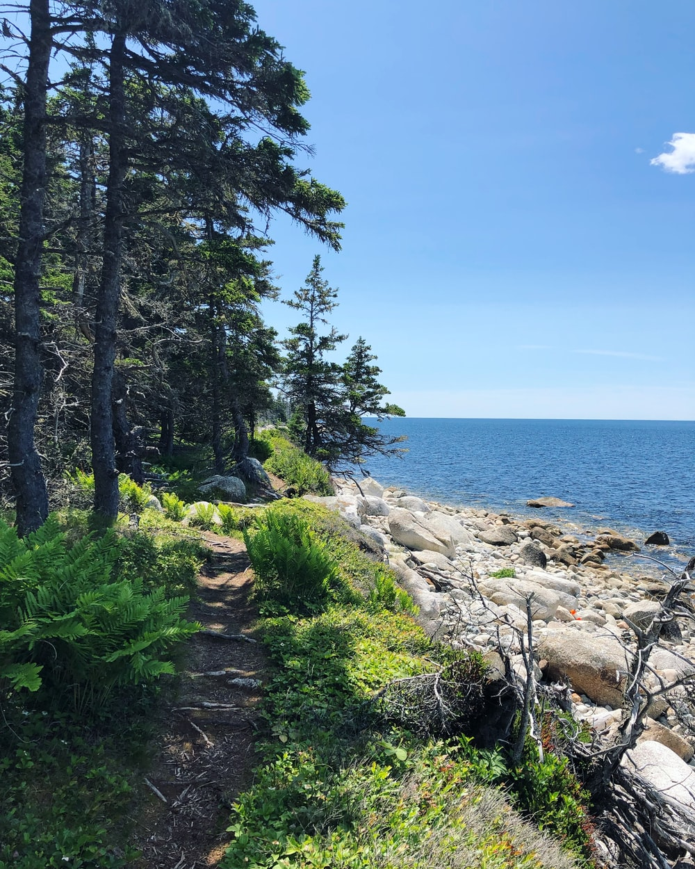 pine trees near seashore