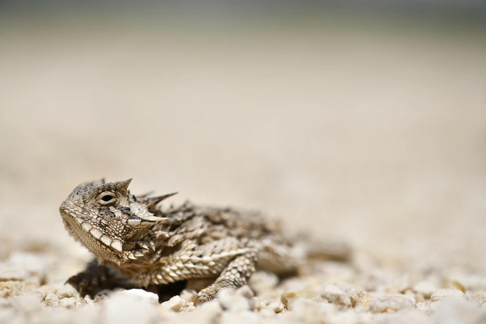 brown lizard on brown soil in close-up photography