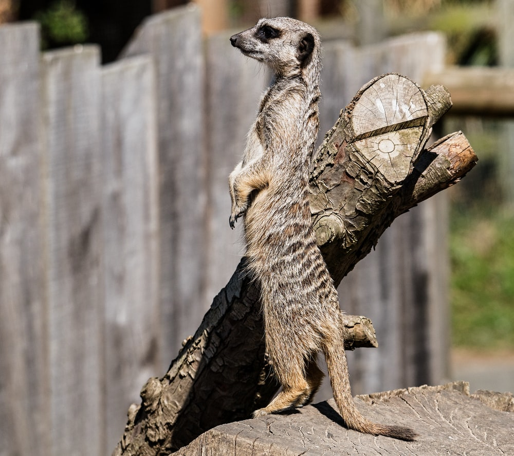 meerkat standing near log