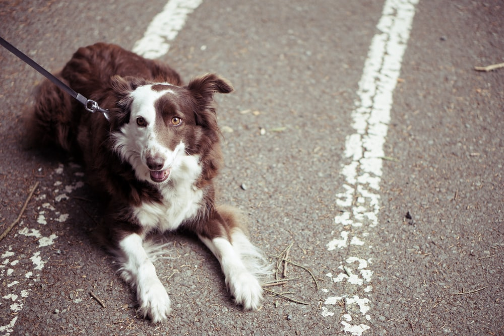 long-coat brown and white dog