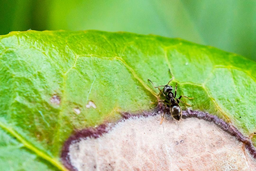 Ant sitting on leaf eating, macro shot