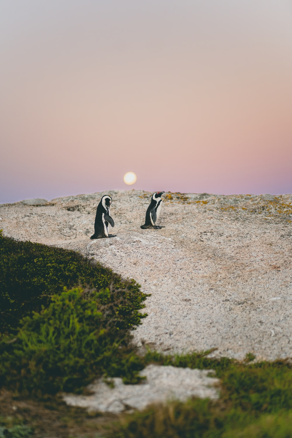 two penguin walking at the shore during daytime