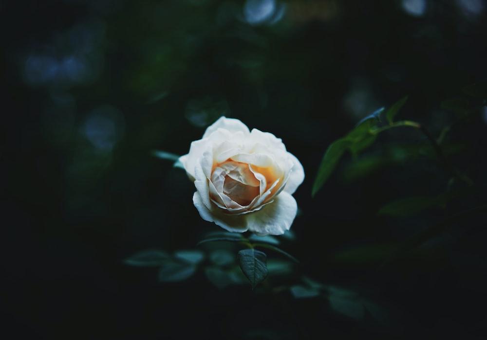 full-bloomed white rose