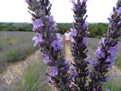 Lavender fields in Valensole in the Alpes de Haute-Provence