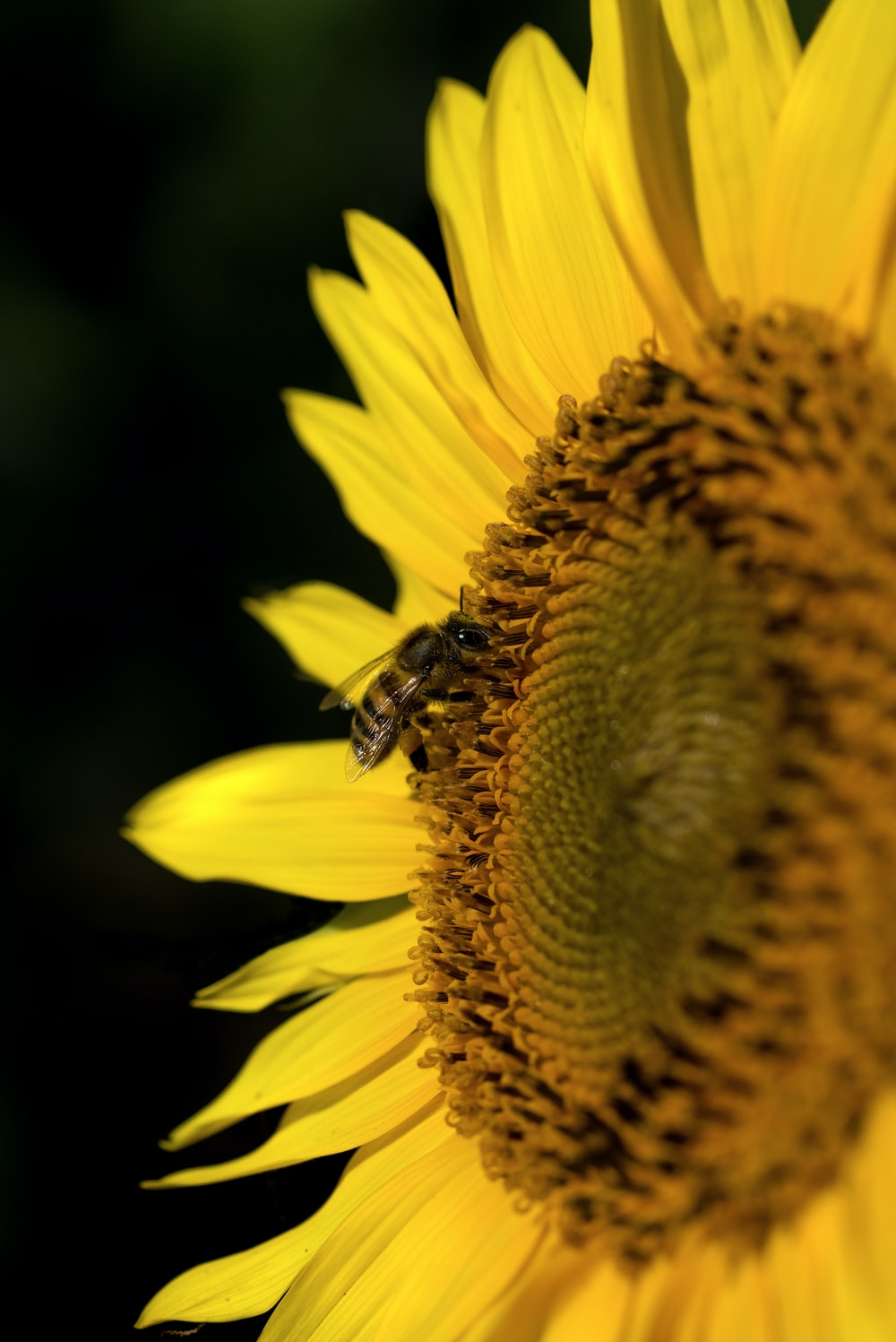 bee on sunflower