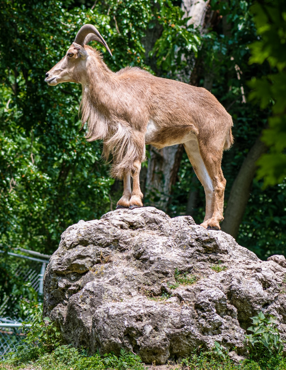 brown goat on the rock