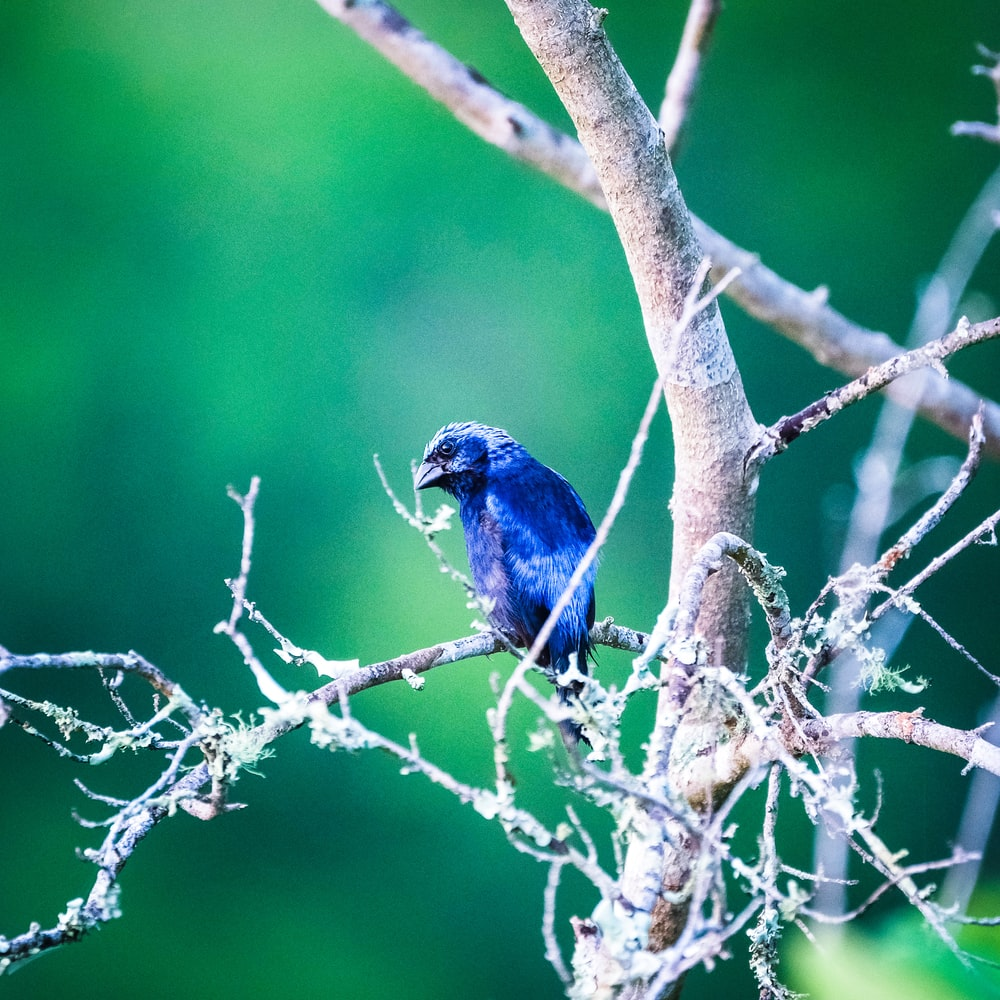 blue bird pearch on tree