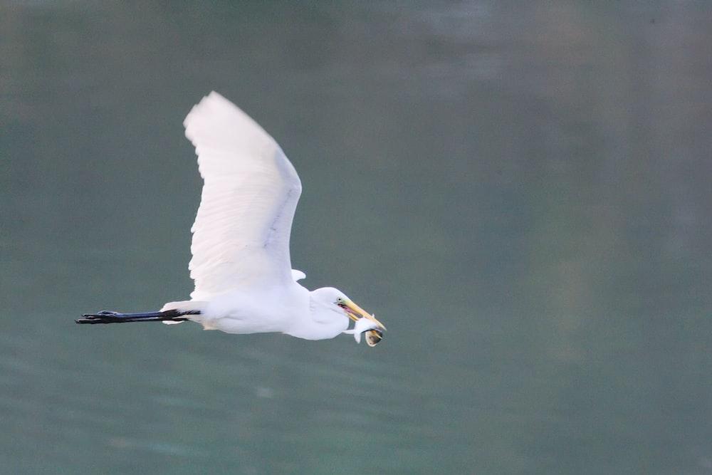 white stork flying