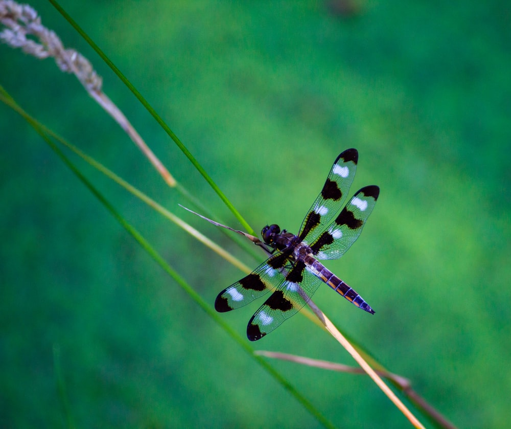focus photography of black dragonfly