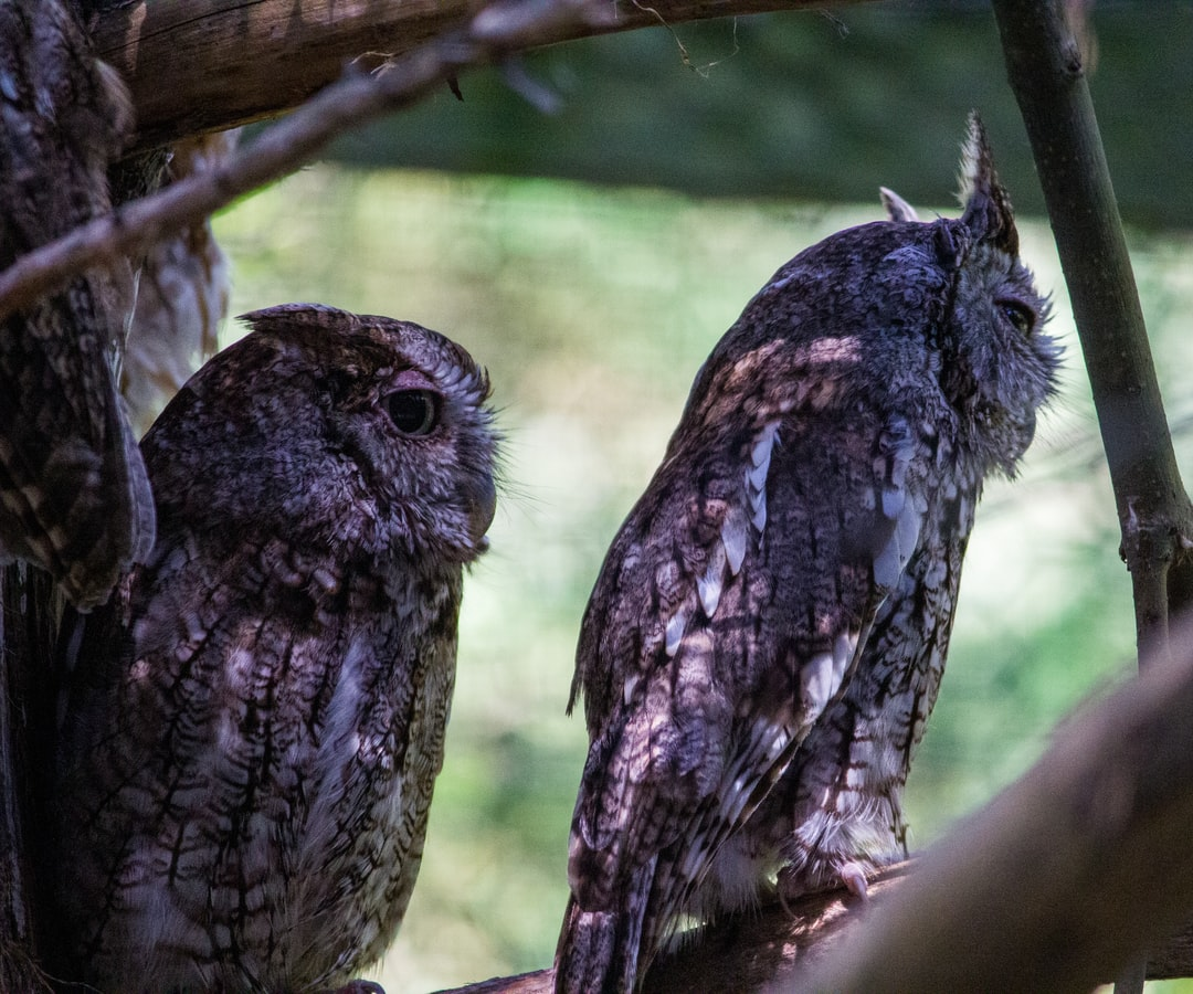 """""""Don't look now!"""" Two owls."""