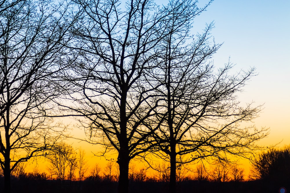 silhouette of bare trees during golden hour