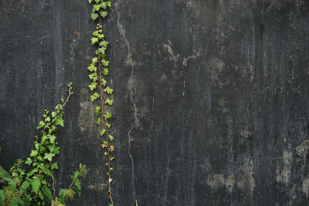 green ivy plant on gray concrete wall