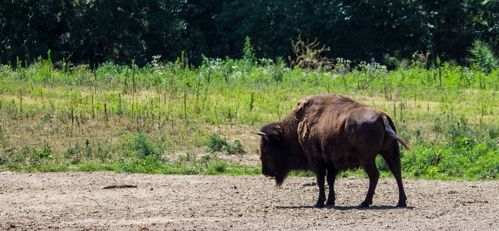 bison on field during daytime