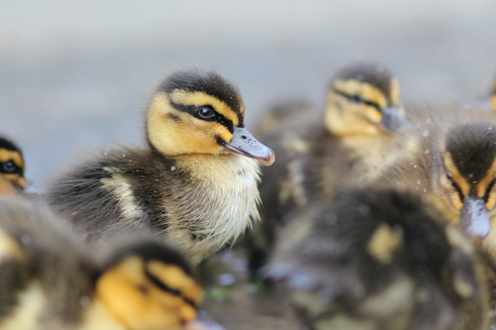 shallow focus photography of blakc and yellow duckling facing sideways
