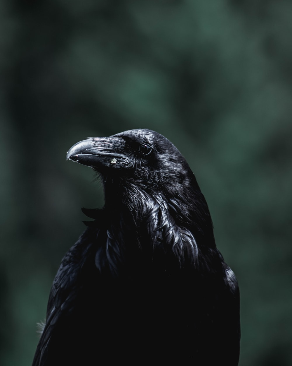 black crow facing sideways