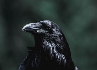 black crow facing sideways