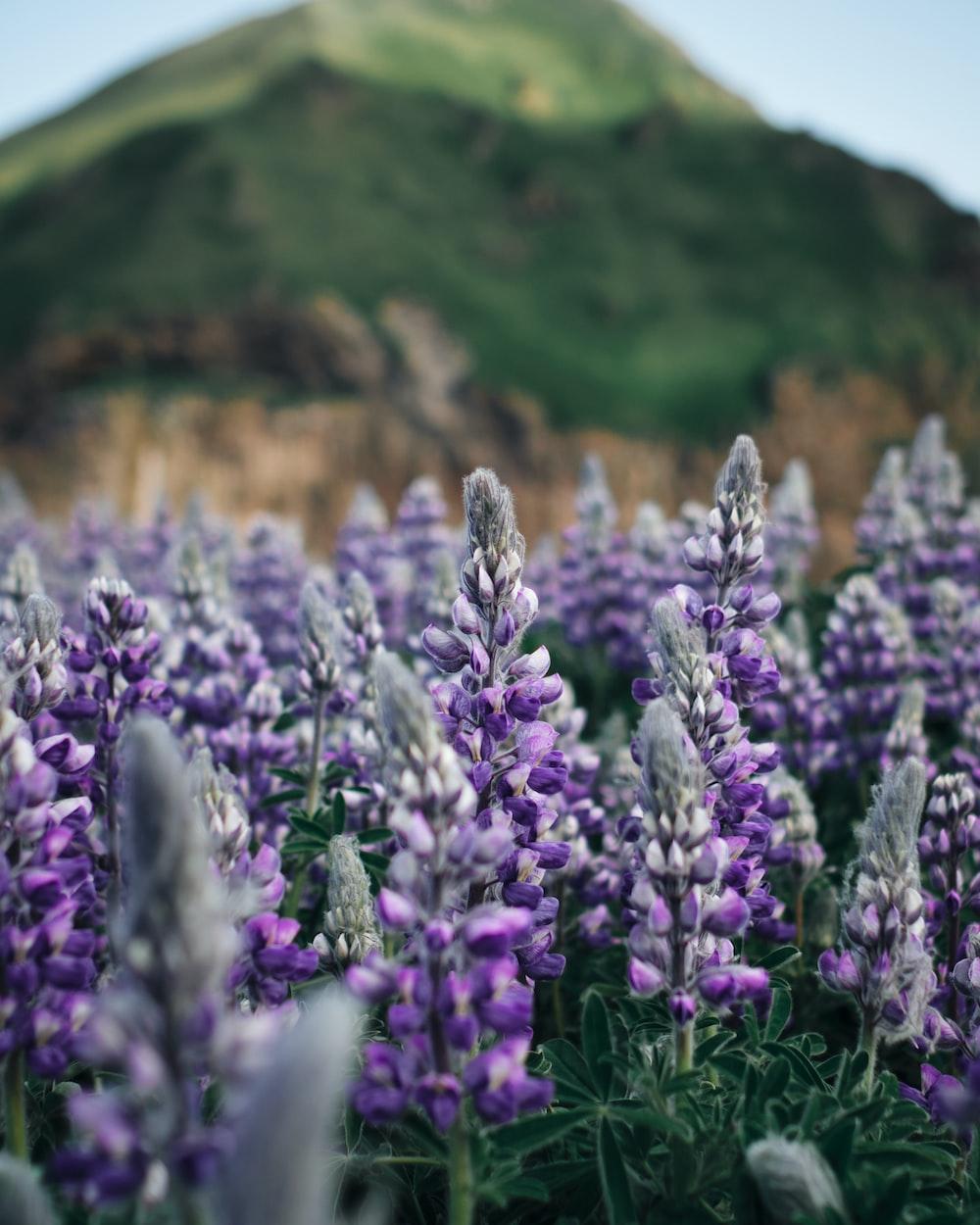 shallow focus photography lavender flowers
