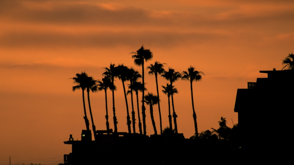 silhouette of coconut palm trees