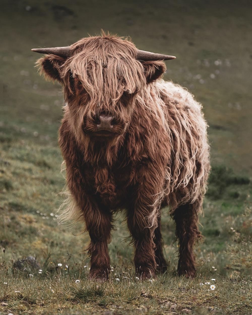 brown bison on grass field