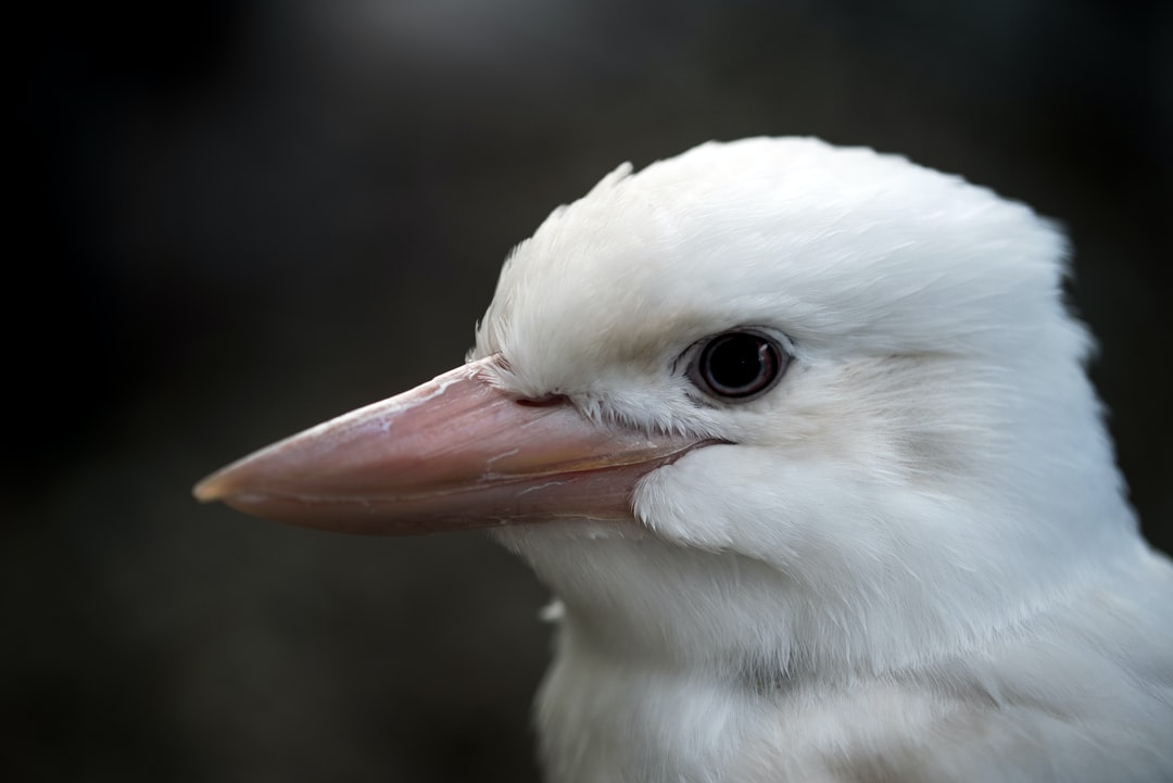 An albino kookaburra named Snowy at the Cairns Wildlife Dome, Australia. This bird was brought in injured but has fortunately recovered. It is being kept because albino animals are not so well camouflaged and are therefore less likely to survive in the wild.