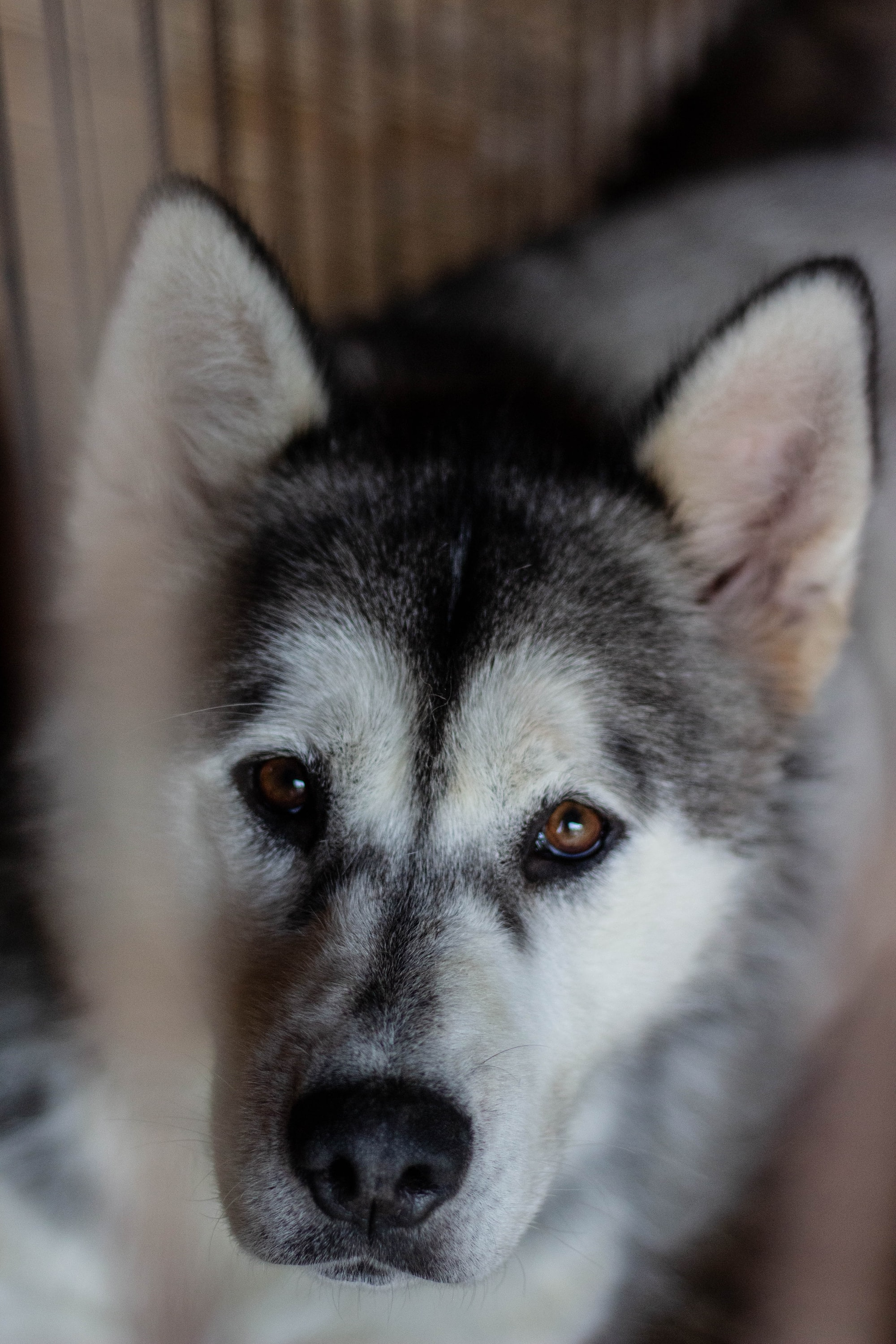 husky, dogs with amber eyes
