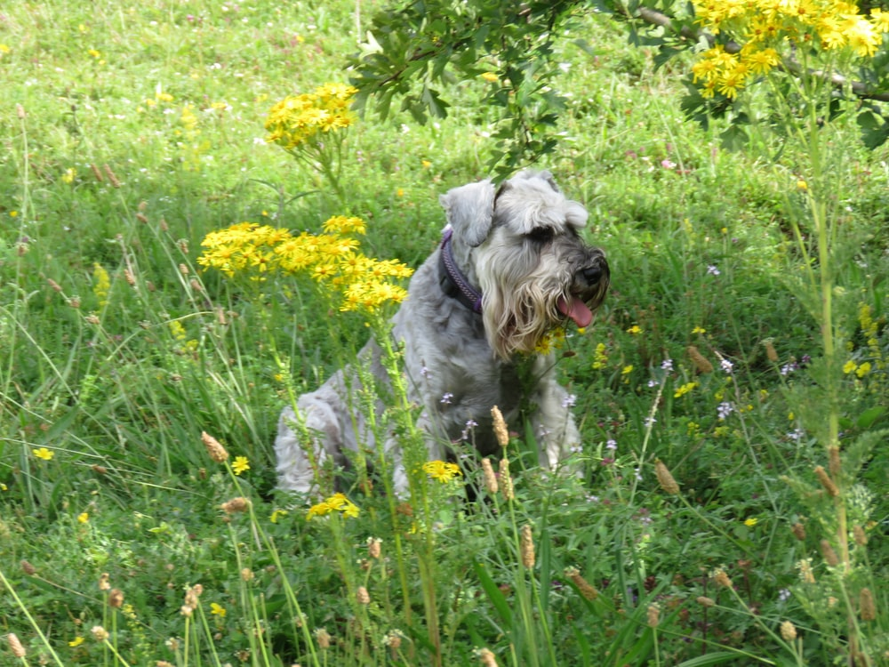long-coated grey dog sitting on grass field