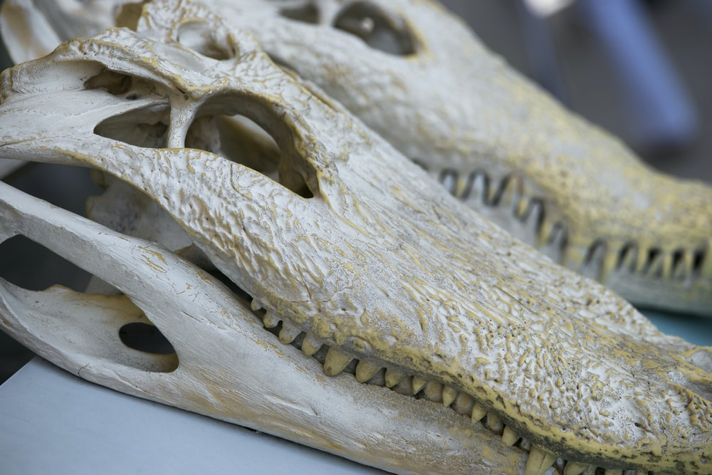 two white crocodile skulls