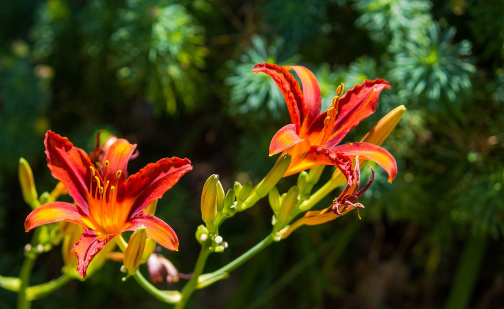 orange-and-yellow petaled flowes r
