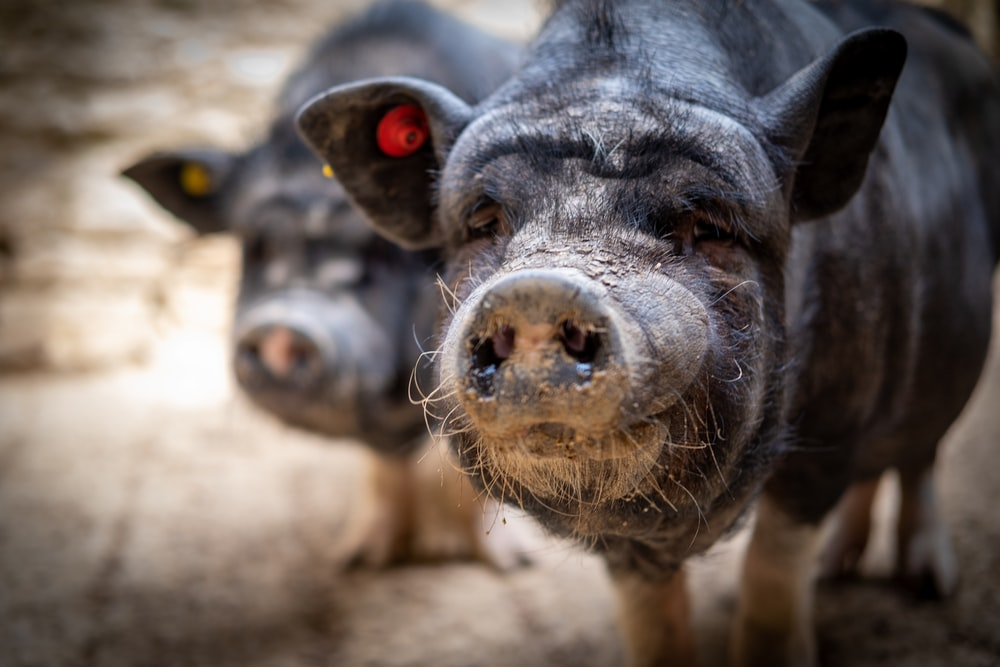 selective focus photography of black pigs during daytime