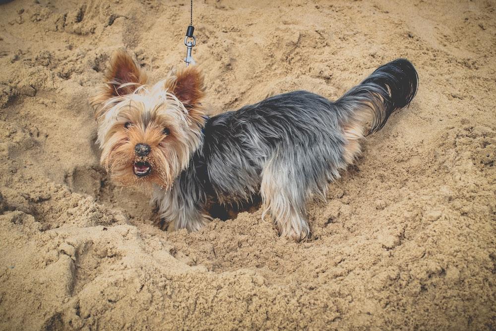 long-coated black and tan dog