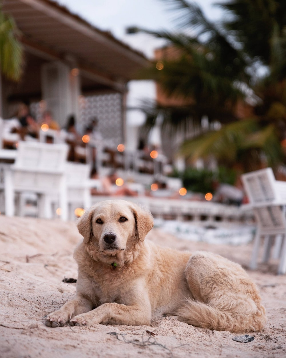 brown coated dog laying on sand