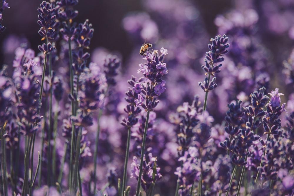 lavender lot