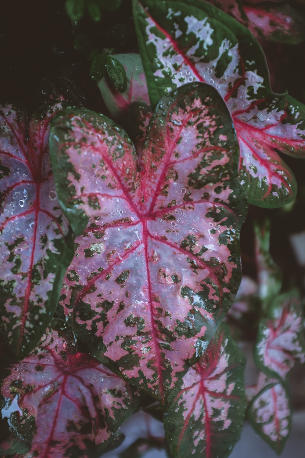 pink and green-leafed plant