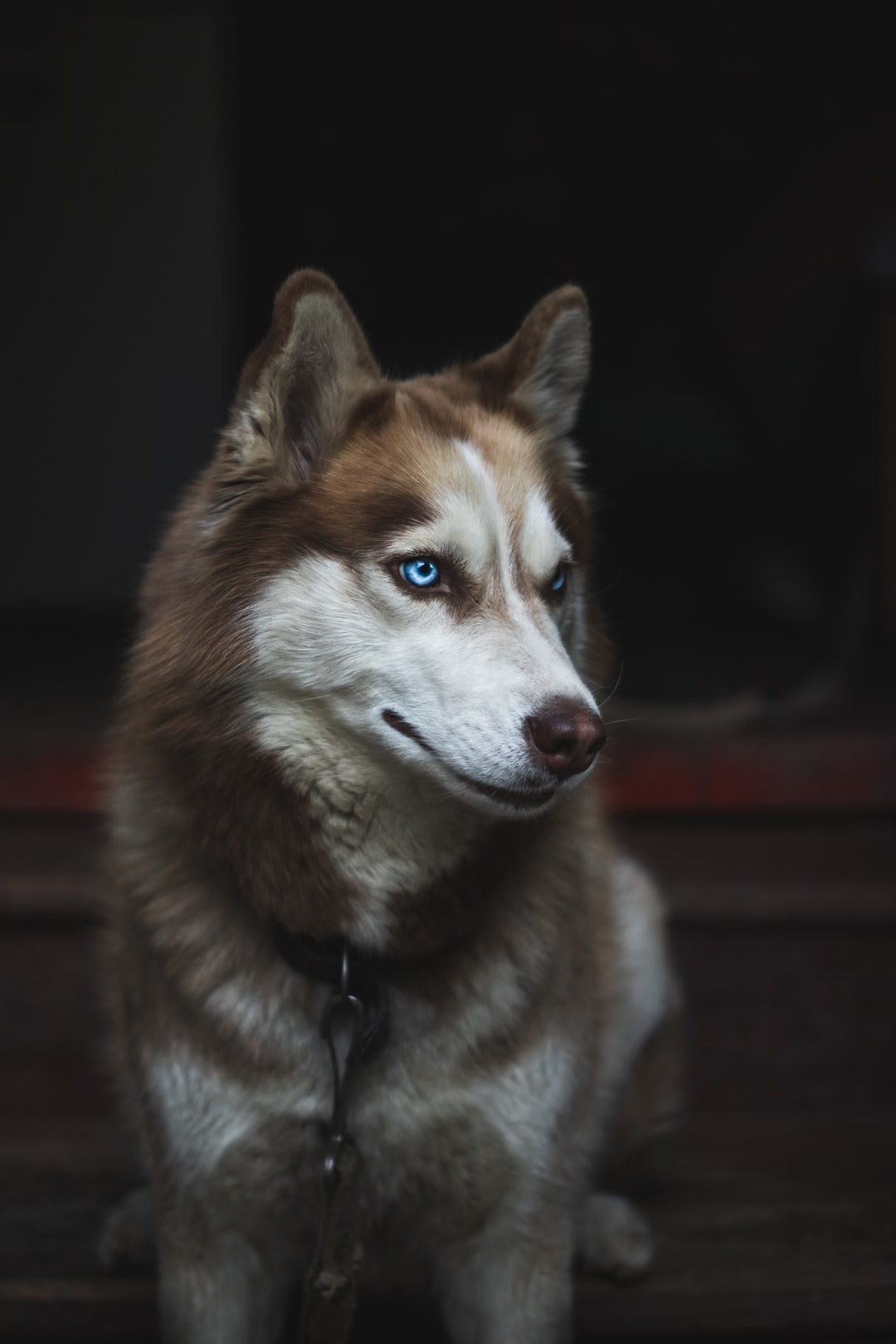 Good-looking husky portrait with her charming eyes