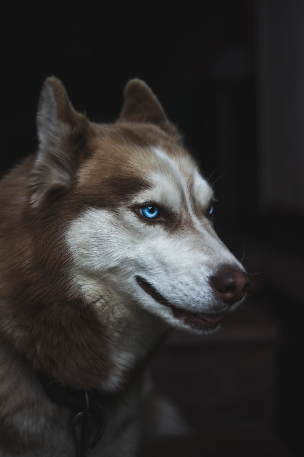 brown and white Siberian husky close-up photo