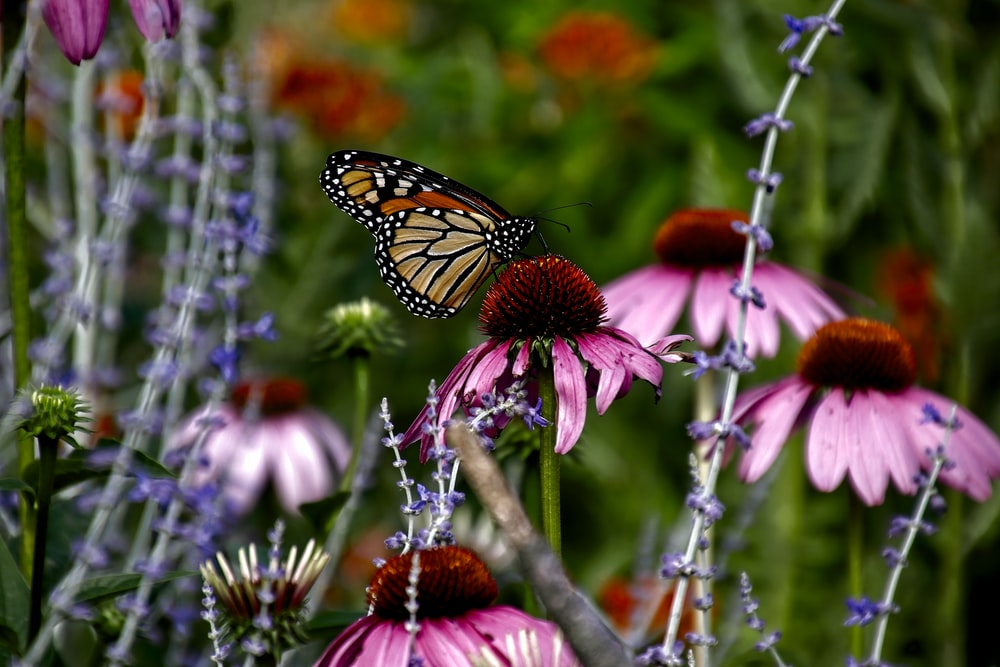 monarch butterfly perching on pink flowers