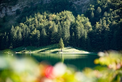 sun lit mountain forest on shore of lake Seealpsee with blurred flowers in foreground, Alpstein, Switzerland