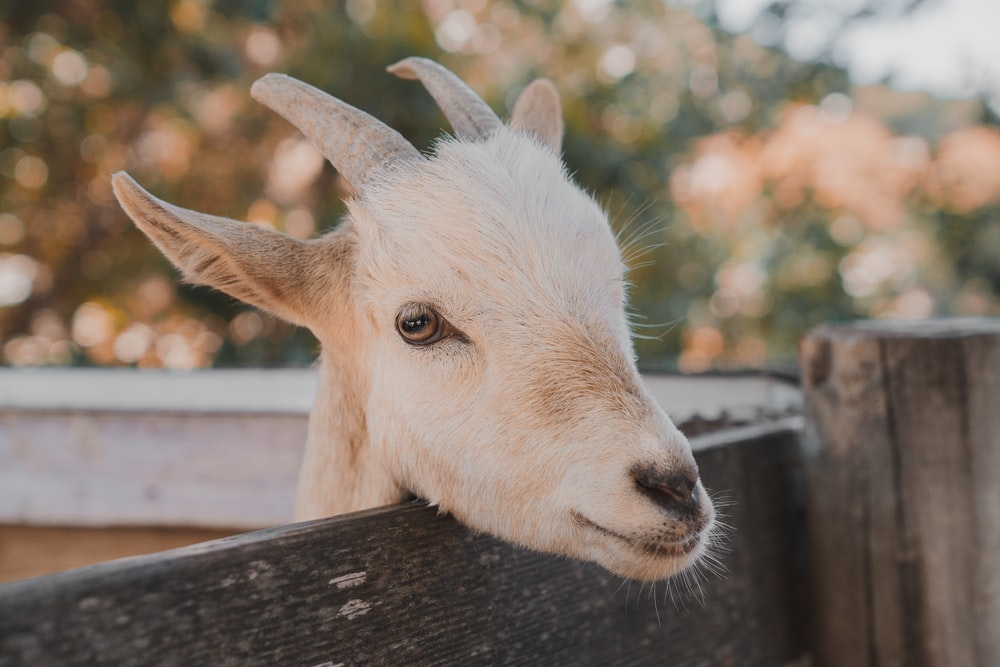 white goat close-up photography