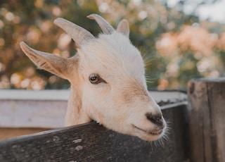 white goat close-up photography