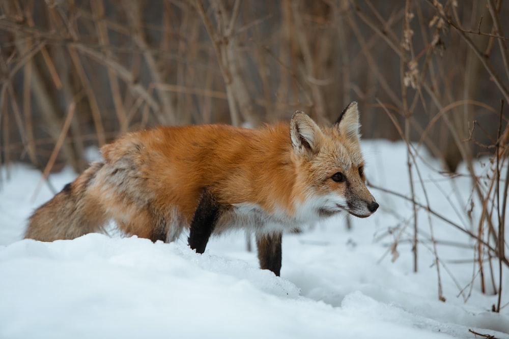 brown fox on focus photography