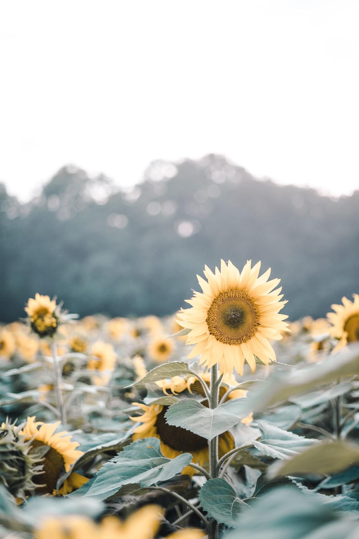 yellow sunflowers in bloom