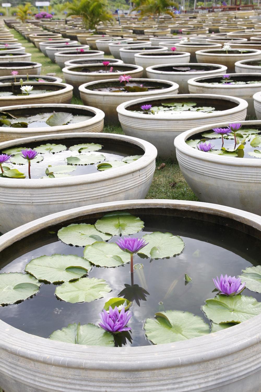 purple lotus flowers in bloom