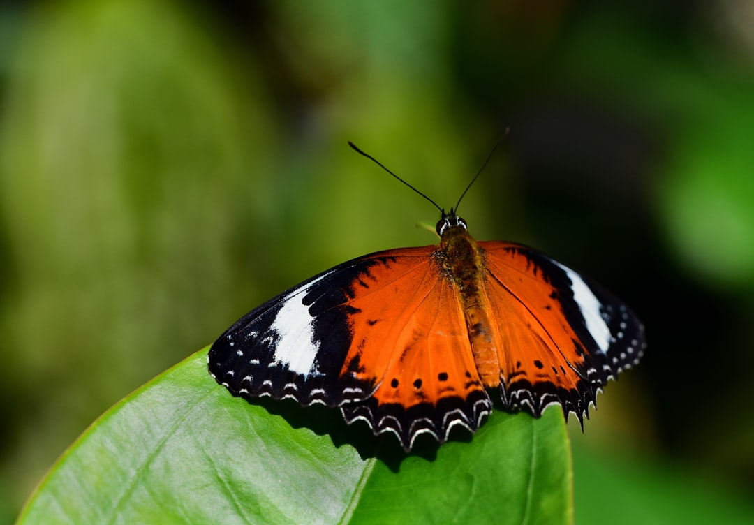 A beautiful Orange Lacewing butterfly that cooperated by landing on a leaf just in front of me.