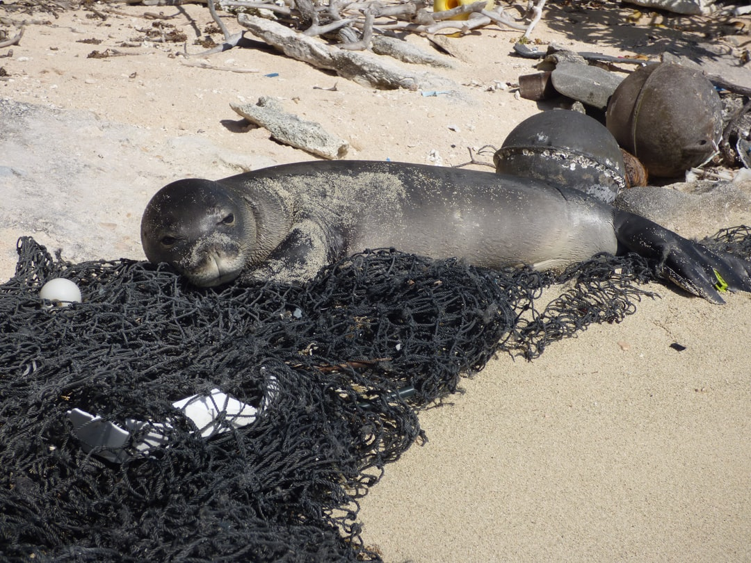 Monk seal using marine debris from derelict fishing nets as pillow.