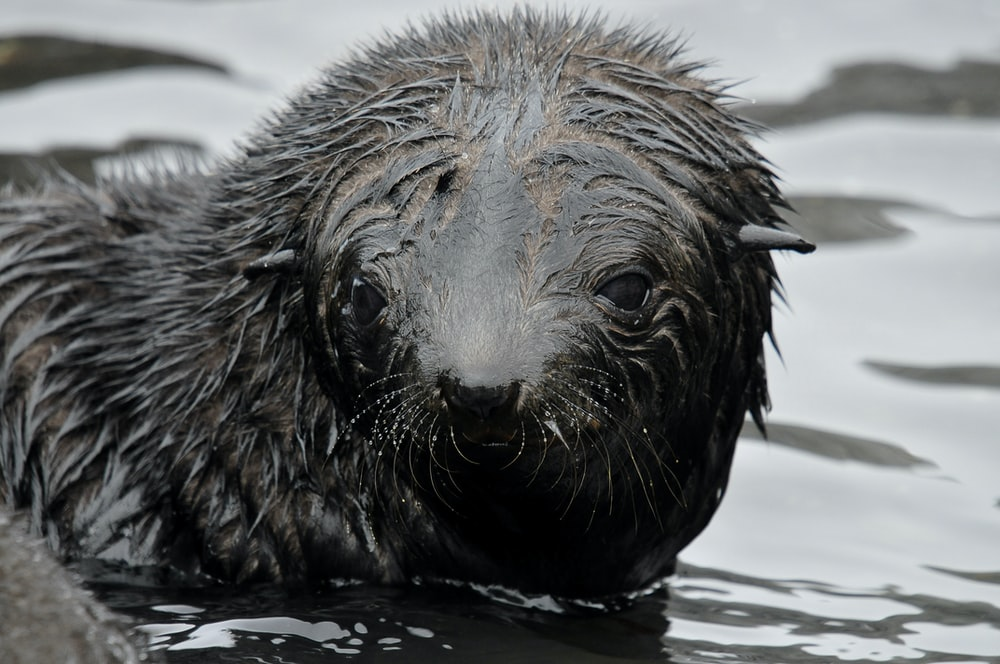 black sealion on body of water